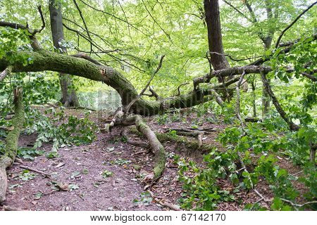 Windfall In Forest
