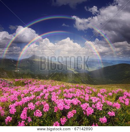 Summer landscape with a rain and a rainbow. Glade of pink flowers in the mountains