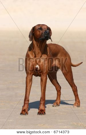 Proud Rhodesian Ridgeback standing on the beach