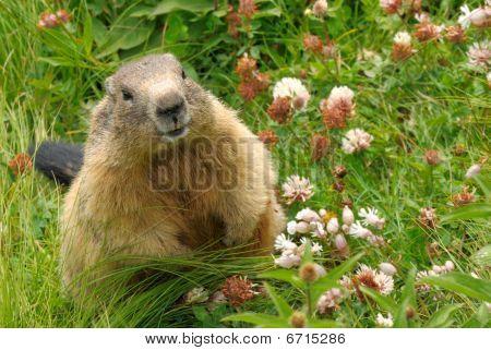 Groundhog In His Natural Habitat