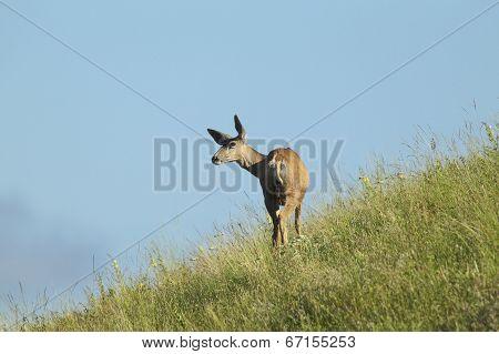 Deer On Side Of Hill.