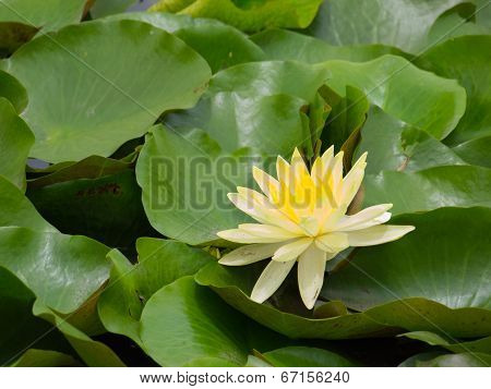 Yellow Of Lotus Flower