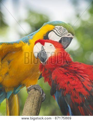 Pair Macaw birds