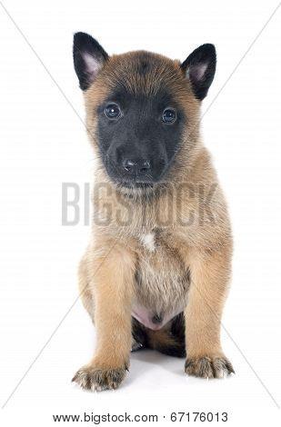 Puppy Malinois