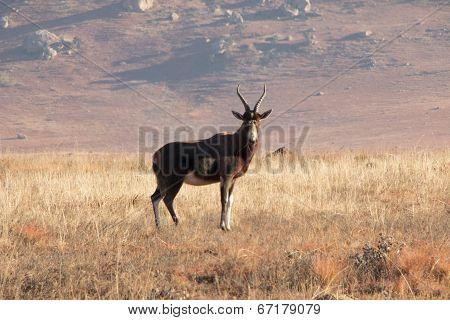 Blesbok Staring In Grass