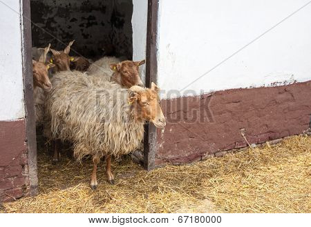 Racka Sheeps
