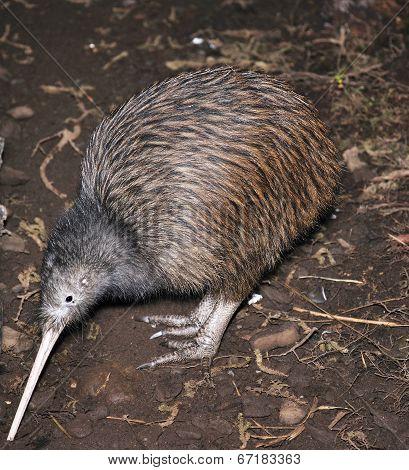 Kiwi Searching