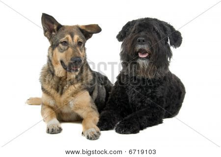 German Alsatian and Bouvier des Flandres dogs