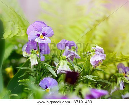 Flowerbed Of Viola Tricolor Or Kiss-me-quick (heart-ease Flowers) In Summer.