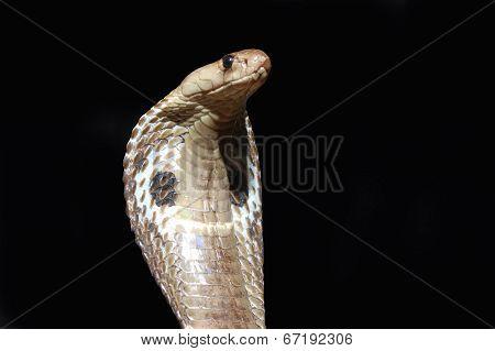 Cobra Rules