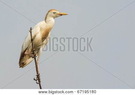 A Cattle Egret (bubulcus Ibis) Perched On Top Of The Mangroves
