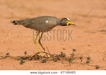 An African Wattled Lapwing (vanellus Senegallus) On The Alert
