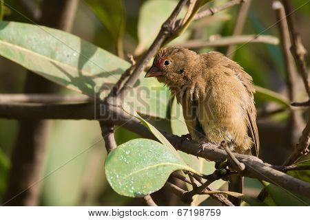 Female Red-billed Firefinch (lagonosticta Senegala) Mimicking Scary A Vulture