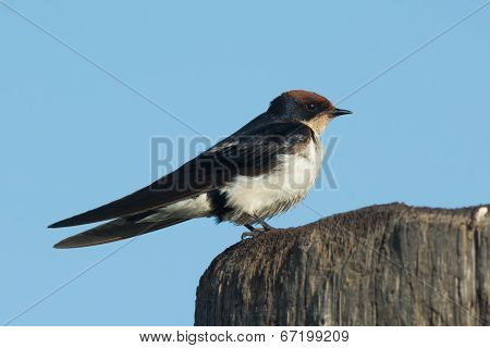 Wire-tailed Swallow (hirundo Smithii) Perched On A Wooden Pole