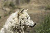 stock photo of wolf-dog  - A profile of an Arctic Wolf in the summer - JPG