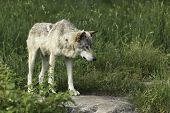 foto of wolf-dog  - Timber wolf in a green pasture environment