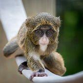 picture of straddling  - Baby De Brazza - JPG