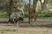 picture of ostrich plumage  - Ostrich in the natural habitat. Africa Kenya .