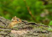 pic of chipmunks  - A Chipmunk perched in a log looking right - JPG