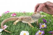 foto of woman dragon  - bearded dragons in front of white background - JPG