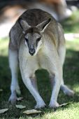image of wallabies  - A close up shot of an Australian Wallaby - JPG