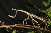 image of tamil  - Brown stick insect from Tamil Nadu South India - JPG