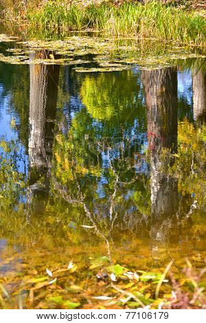 White Poplar Trunk Reflection In The Water