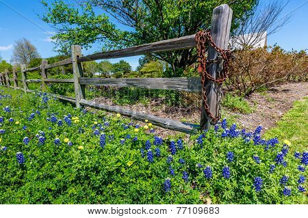 A Wide Angle View of Beautiful Texas Bluebonnet Wildflowers in Front of Old Wooden Fence