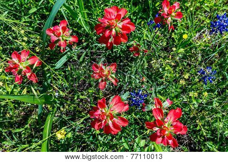 Overhead Closeup of a Cluster of Bright Orange Indian Paintbrush