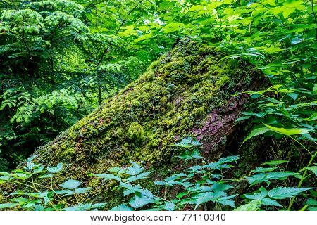 Beautiful Mystical Rainforest Cedar Trees Covered with Moss