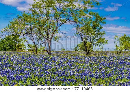 Texas Bluebonnets and Willow Trees