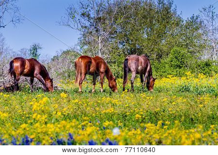 A Wide Angle View Of A Beautiful Field Blanketed With Bright Yellow Wildflowers with Horses
