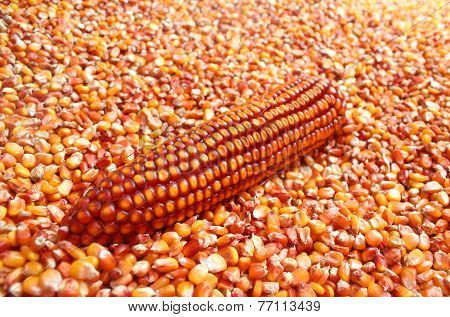 Dry Maize ear sitting in pile of corn grains