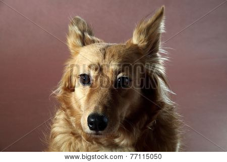 Italian Mongrel Dog 2442