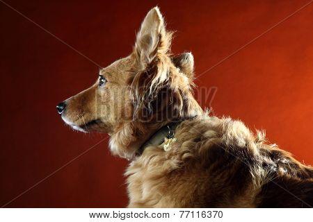 Italian Mongrel Dog