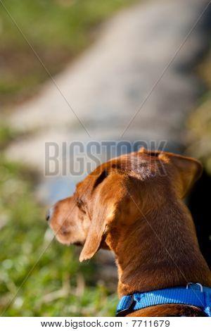 Closeup Of Miniature Dachshund Looking Away