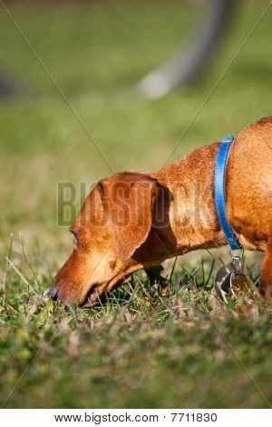 Miniature Dachshund Sniffing In The Grass