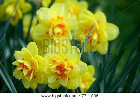 Yellow Daffodil Flowers