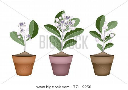 Fresh Calotropis Gigantea in Ceramic Flower Pots