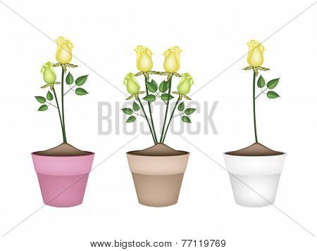 Yellow Roses in Three Ceramic Flower Pots
