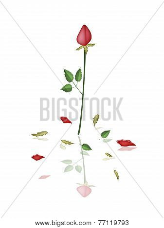 A Lovely Red Roses on White Background