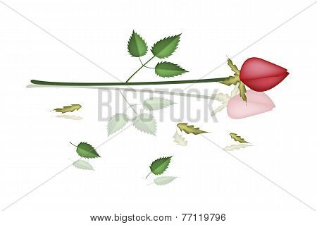 A Lovely Red Roses Laying on White Background