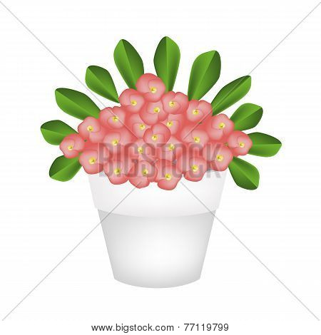 Fresh Crown of Thorns Flowers in Ceramic Pot