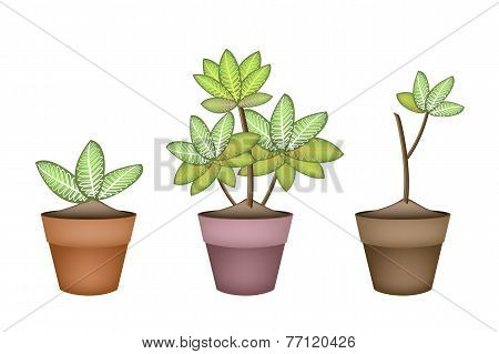 Three Dieffenbachia Picta Marianne Plant in Ceramic Pots