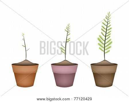 Three Fresh Green Ferns in Ceramic Pots