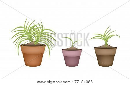 Three Dracaena Plants in Ceramic Flower Pots