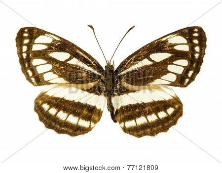 Pallas Sailer Butterfly