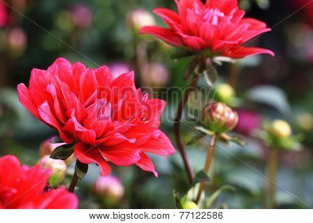 Dahlia flowers and buds