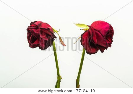 Two Dehydrated Roses That Are Turning From One Another