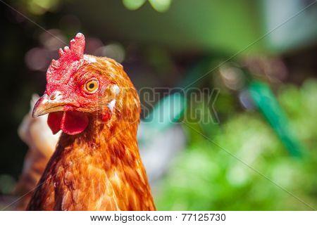 Brown Hen On A Lawn Grass